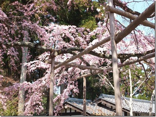 2017京都桜 175