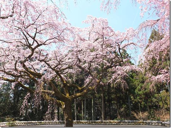 2017京都桜 178
