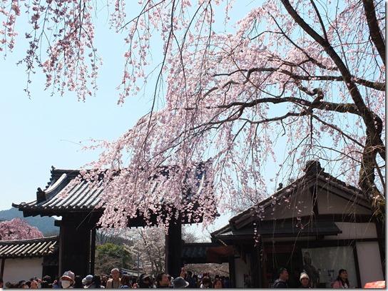 2017京都桜 179