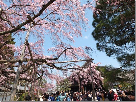 2017京都桜 180
