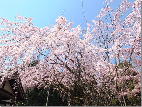 2017京都桜 183