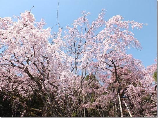 2017京都桜 184