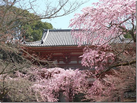 2017京都桜 190