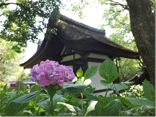 奈良・京都紫陽花2017 193