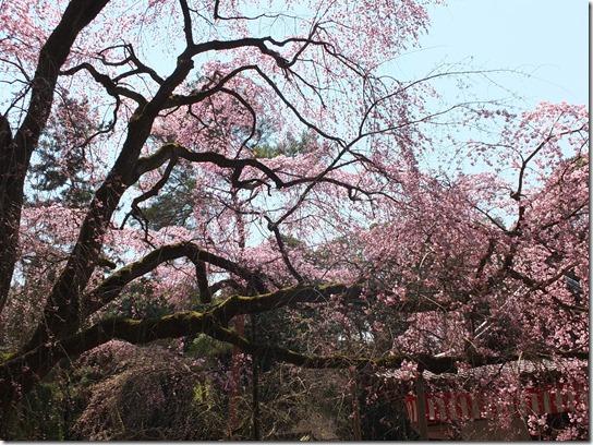 2017京都桜 194