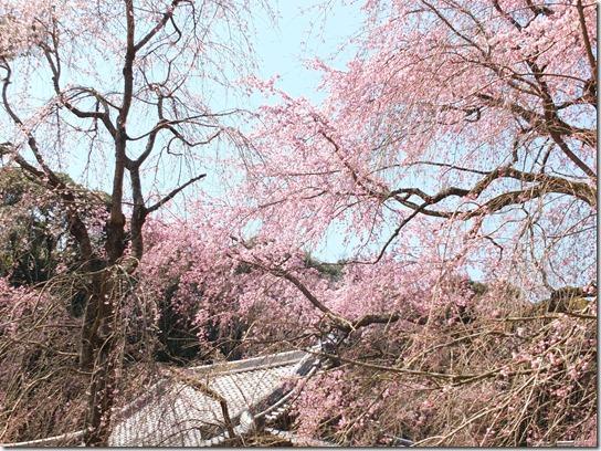 2017京都桜 198