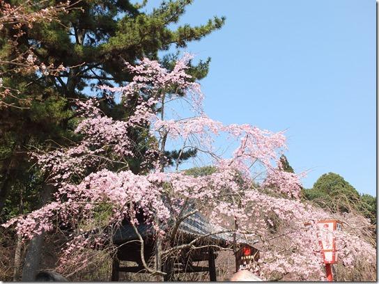 2017京都桜 200
