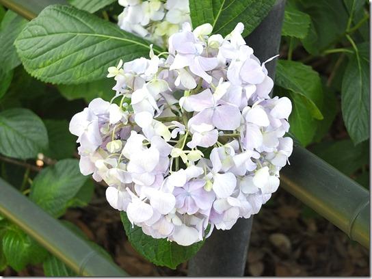 奈良・京都紫陽花2017 200