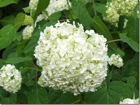 2017鎌倉 紫陽花 092