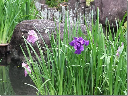 2017鎌倉 紫陽花 116