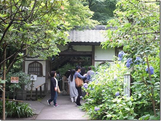 2017鎌倉 紫陽花 145