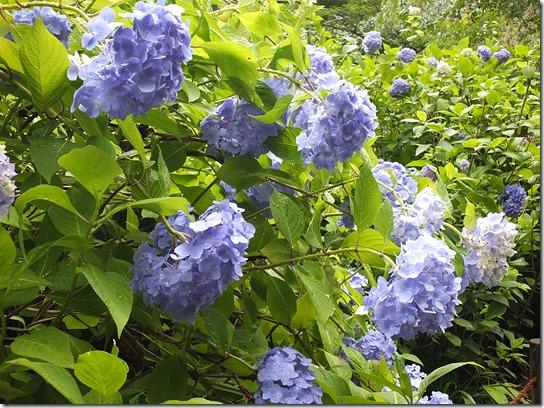 2017鎌倉 紫陽花 163