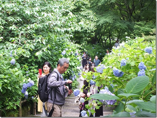 2017鎌倉 紫陽花 166
