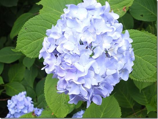 2017鎌倉 紫陽花 219