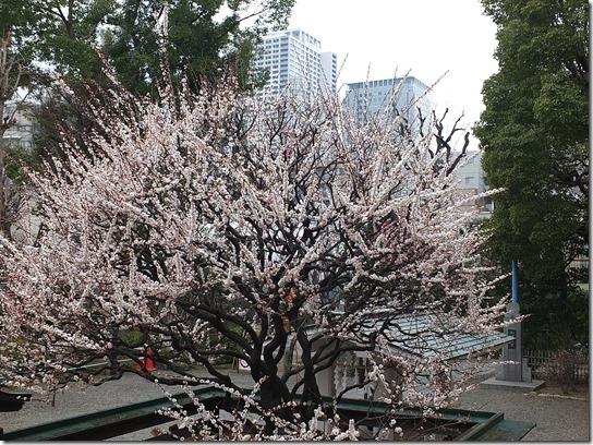 2017東京の梅 264