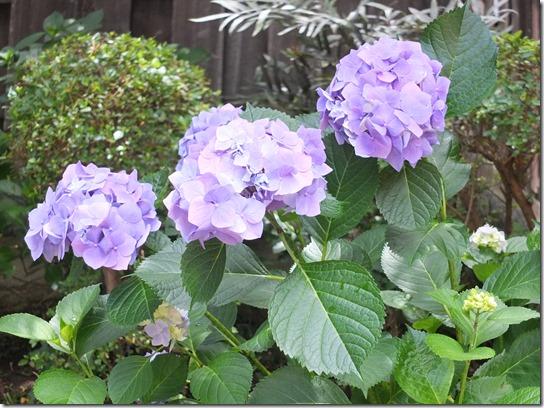 2017鎌倉 紫陽花 350