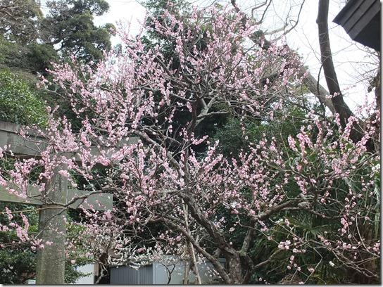 2017東京の梅 439