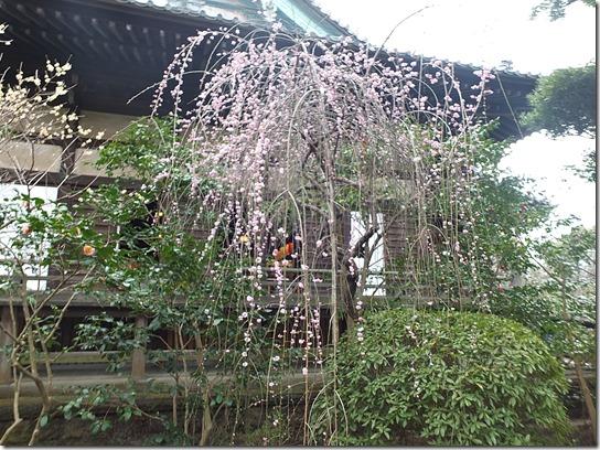 2017東京の梅 563