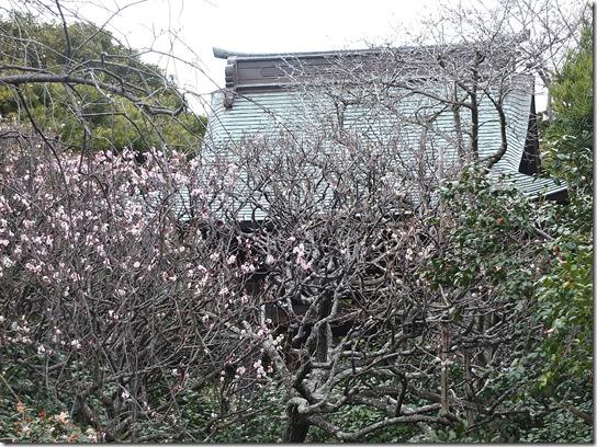 2017東京の梅 585