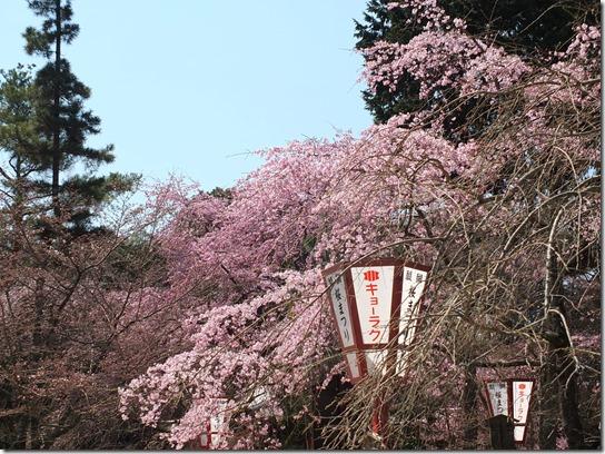 2017京都桜 201