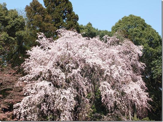 2017京都桜 203