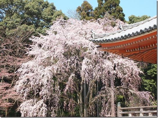 2017京都桜 207
