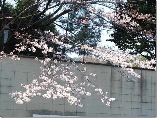 2017京都桜 213