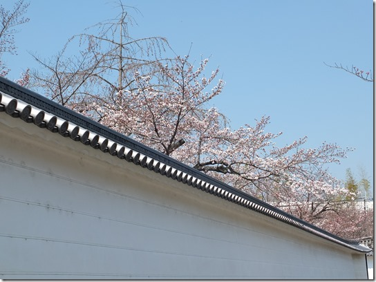 2017京都桜 218