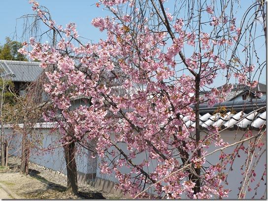 2017京都桜 221