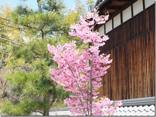 2017京都桜 222