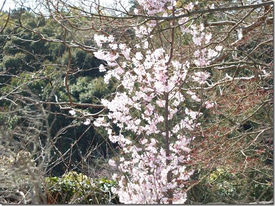 2017京都桜 233