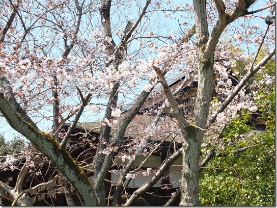 2017京都桜 240