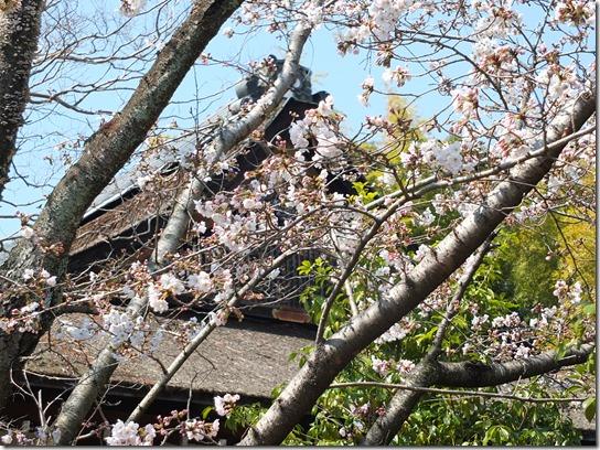 2017京都桜 242