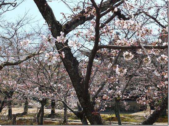 2017京都桜 244