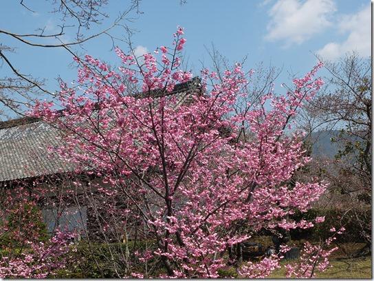 2017京都桜 248