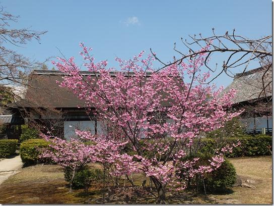 2017京都桜 249