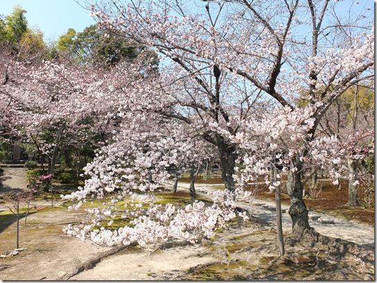 2017京都桜 250