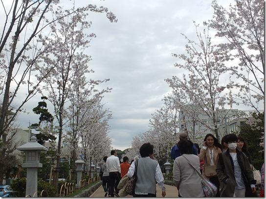 鎌倉 牡丹 桜 252