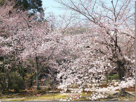 2017京都桜 253