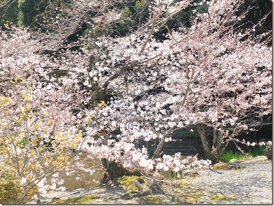 2017京都桜 254