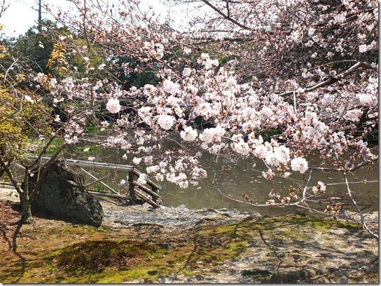 2017京都桜 258