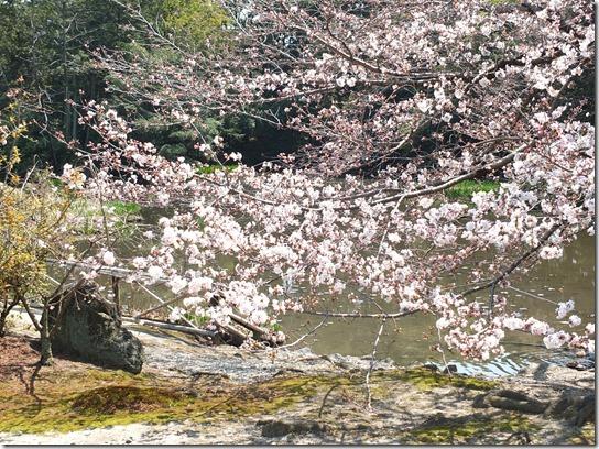 2017京都桜 260