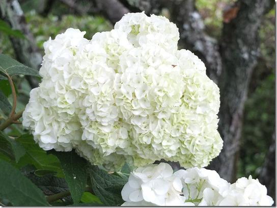 奈良・京都紫陽花2017 262