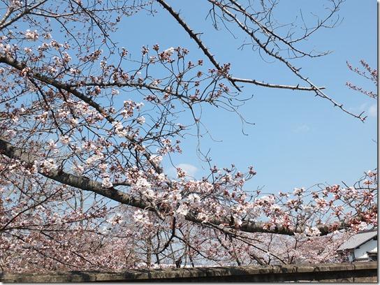 2017京都桜 267