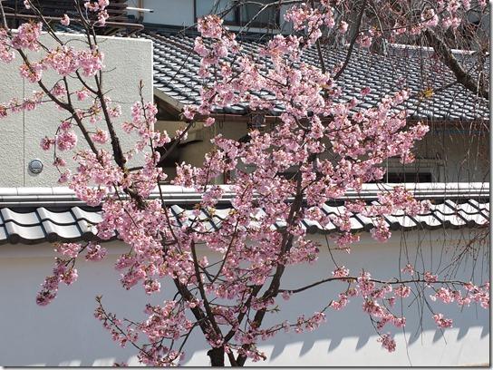 2017京都桜 269