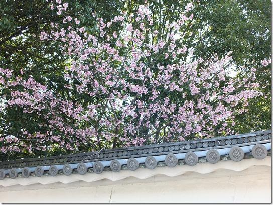 2017京都桜 271