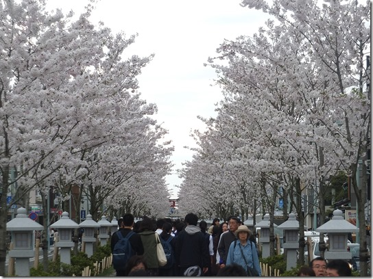 鎌倉 牡丹 桜 274