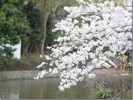 鎌倉 牡丹 桜 278