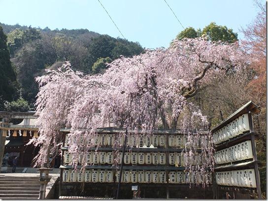 2017京都桜 282