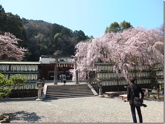 2017京都桜 287